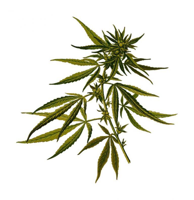 Uprawa marihuany w warunkach domowych